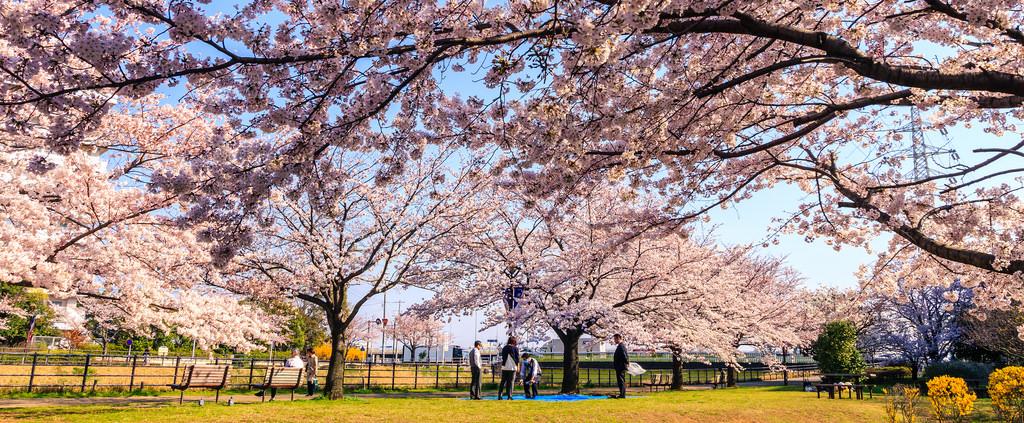 Japan Cherry Blossom Forecast 2019 The Best Organic Herb Tea
